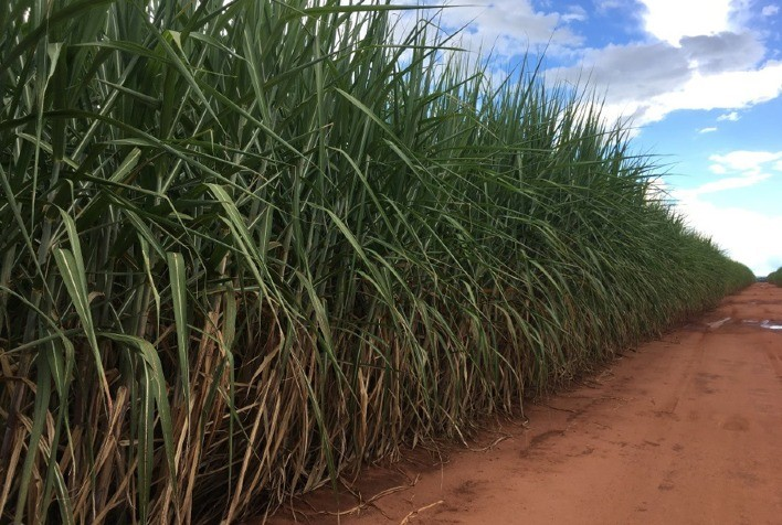 Cana-de-açúcar: pesquisa inovadora do IB busca o controle biológico do bicudo, principal praga da cultura