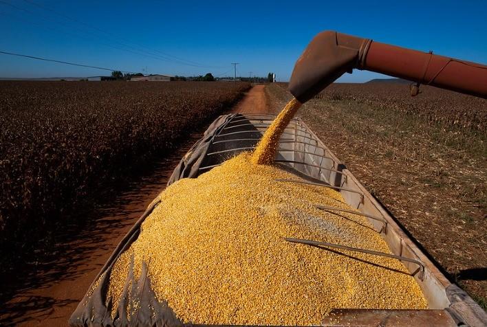 Milho disponível em Mato Grosso sobe 2,2% e saca vai a R$ 68, diz IMEA