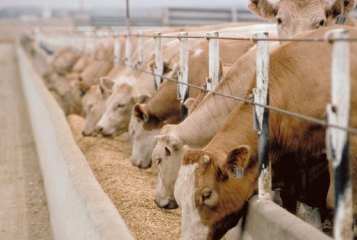 Alimentação de qualidade alavanca o processo de confinamento bovino