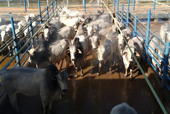 Oferta reduzida de boiadas para abate dando sustentação aos preços da arroba