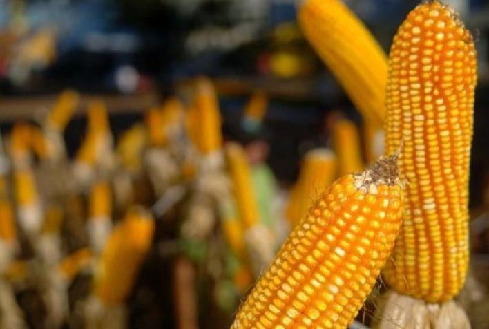 Clima e atraso no plantio do milho safrinha confirmam impacto na produção nacional