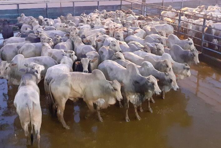 Etapa de Marabá (PA) do Circuito Nelore de Qualidade reuniu 543 animais