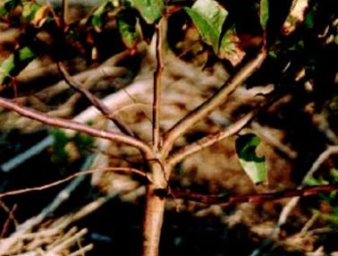 acido-borico-eucalipto